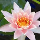Colorado Water Lily (pond plants)