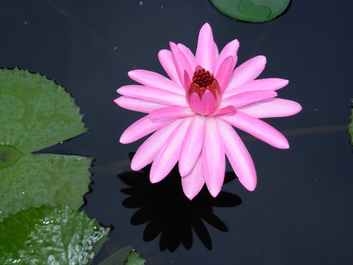 Mrs. George C. Hitchcock Water Lily, (pond plants)