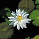 Trudy Slocum NightBlooming Water Lily (Pond Plants)