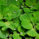 6 Water Lettuce (pond plants)