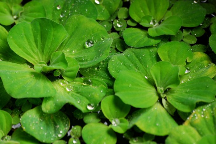 18 Water Lettuce (floating pond plants)