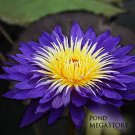 UltraViolet (Winner Best Waterlily 2008)