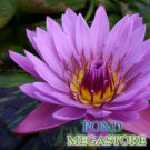 Kathy McLane Waterlily (Live full grownplant)