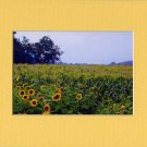 FIELD of SUNFLOWERS Enhanced Digital Photo Matted Print, Renee Rutana
