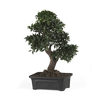 Japanese Ficus Bonsai Tree 24 in