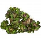 "Green Burgundy 5"" Echeveria Succulent Plant (Set of 12)"