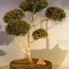 "Flowering Brush Cherry (""Pom-Pom"") Style Bonsai Tree"