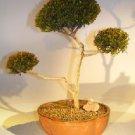 """Flowering Brush Cherry (""""Pom-Pom"""") Style Bonsai Tree"""