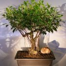 Ficus Retusa Bonsai Tree Banyan Roots