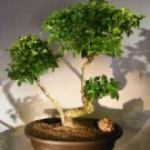 Flowering Ligustrum Bonsai Tree.