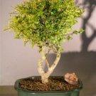 Flowering Tropical Boxwood Bonsai Tree