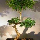Flowering Ligustrum Bonsai Tree