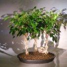 Ficus Braided Twist Three Tree