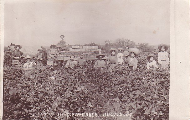 Strawberry Fields in South Carolina SC, 1909 Vintage Postcard - 3600