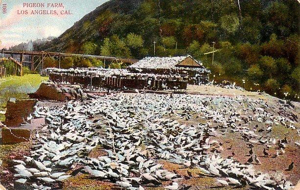 Pigeon Farm in Los Angeles California CA Vintage Postcard - 3841