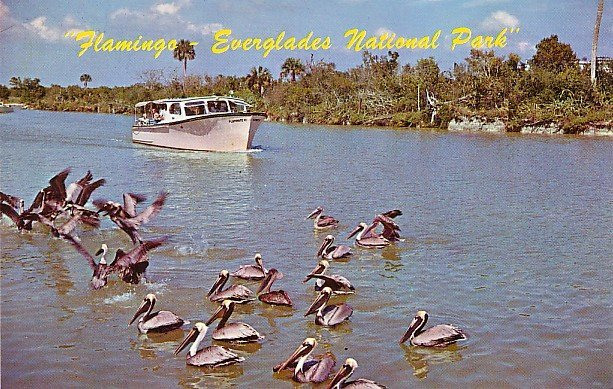 Peligans in Everglades National Park Florida FL Chrome Postcard - 0068