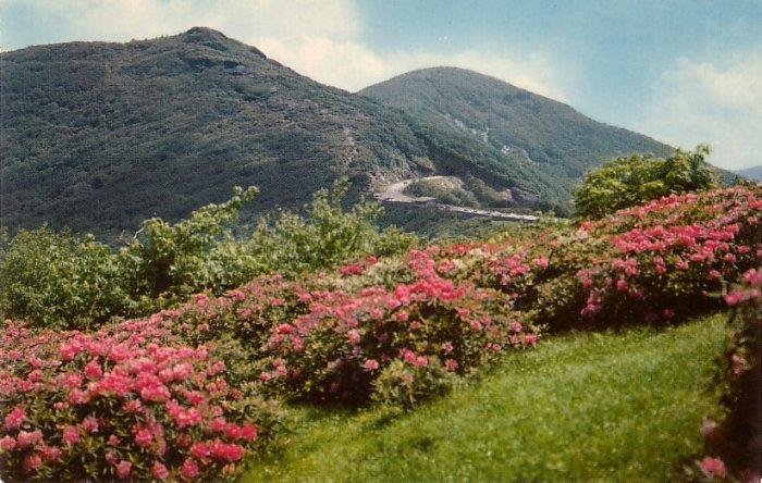 Purple Rhododendrons along Blue Ridge Parkway in Virginia VA,  Chrome Postcard - 0122