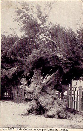 Salt Cedars at Corpus Christi Texas TX 1908 Vintage Postcard - 2331
