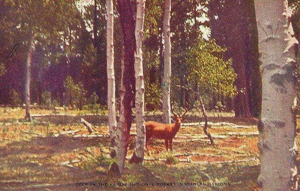 Mule Deer in Kaibab Forest in Arizona AZ, Linen Postcard - 2694