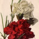 Hand Colored Postcard of Carnations, Raphael Tuck & Sons Vintage Postcard - 3715