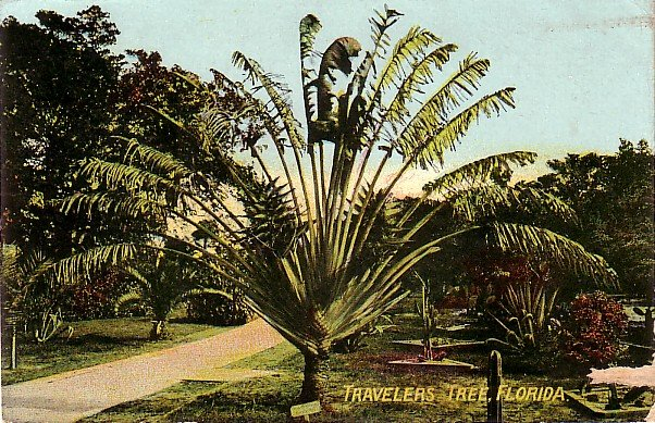 Travelers Tree in Florida FL, 1910 Vintage Postcard - 3733