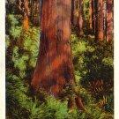 Redwood Highway Trees in California CA Vintage Postcard - 4004