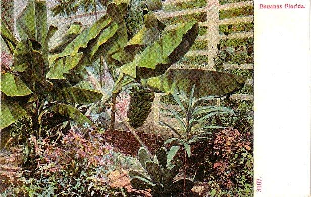 Banana Plants in Florida FL, Vintage Postcard - 4005