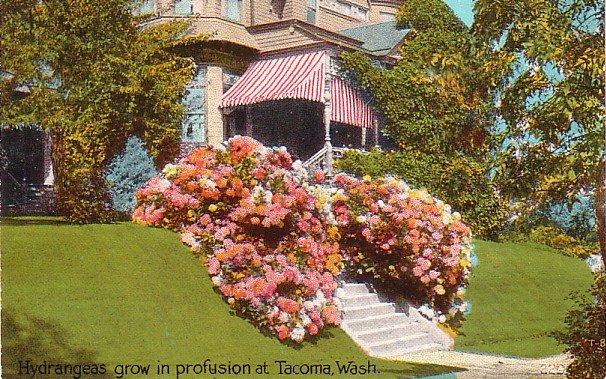 Hydrangeas growing in Tacoma Washington WA, Vintage Postcard - 4007