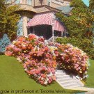 Hydrangeas growing in Tacoma Washington WA, Vintage Postcard - 4007