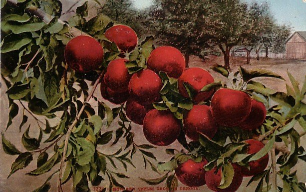 How Red Apples Grow in Oregon, Edward H Mitchell 1909 Vintage Postcard - M0013