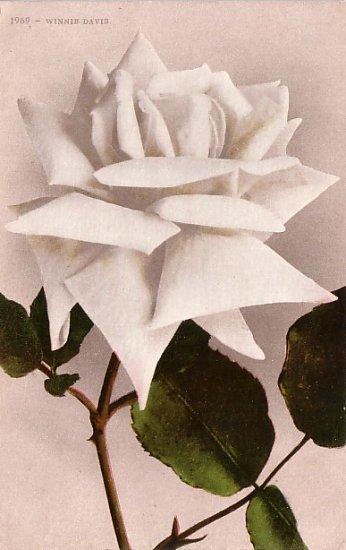 Winnie Davis Rose,  Edward H Mitchell 1909 Vintage Postcard - M0032