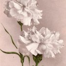 White Carnations, Edward H Mitchell 1909 Vintage Postcard - M0033