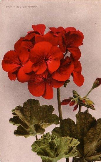 Red Geraniums, Edward H Mitchell 1909 Vintage Postcard - M0035