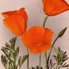 The California Poppy, Edward H Mitchell 1909 Vintage Postcard - M0037