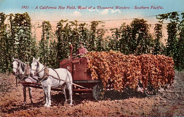 Horse Drawn Wagon Filled with California Hops, Edward H Mitchell 1911 Vintage Postcard - M0127