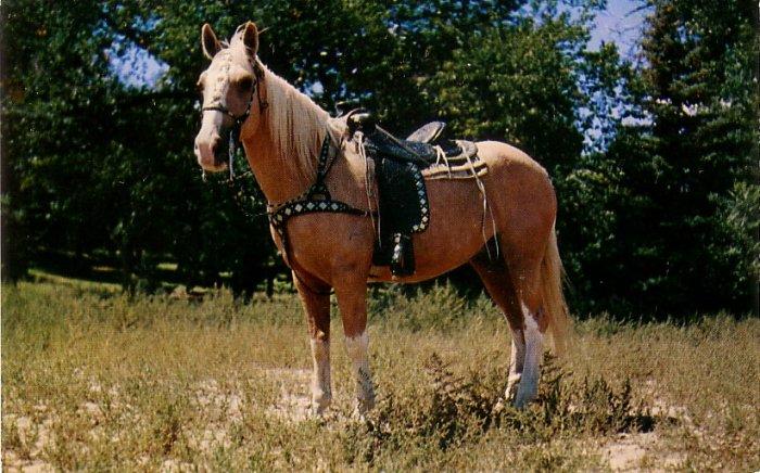 Saddled Palamino Horse, Chrome Postcard - 4089