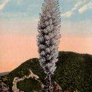 Yucca Palm or Spanish Dagger in California CA 1915 Vintage Postcard - 4111