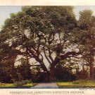 Powhatan Oak on Jamestown Exposition Grounds, 1907 Vintage Postcard - 4357