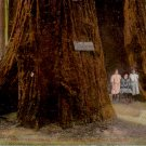 Three Sisters in Santa Cruz Big Tree Grove, California CA Vintage Postcard - 4485