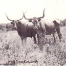Longhorns in West Texas TX 1936 Vintage Postcard - 4583