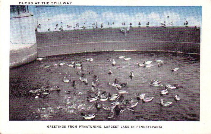 Ducks at Spillway of Pymatuning Lake in Pennsylvania PA Vintage Postcard - 4662
