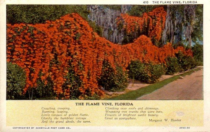 The Flame Vine of Florida Curt Teich Vintage Postcard - 4854