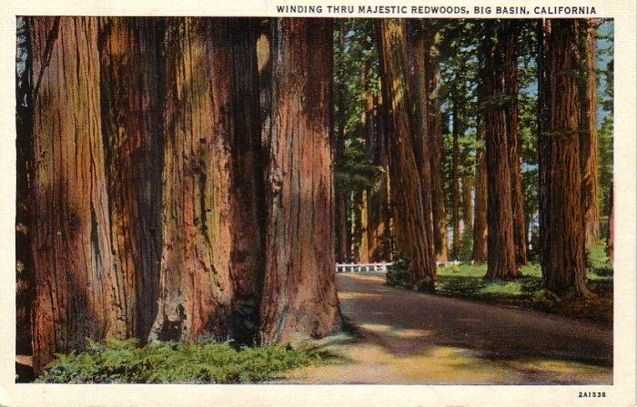 Giant Redwoods in Big Basin California CA 1932 Curt Teich Linen Postcard - 4871