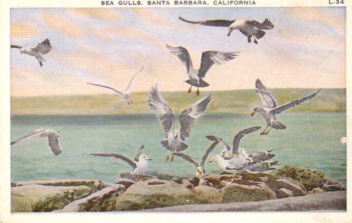Sea Gulls in Santa Barbara California CA Vintage Postcard - 4872