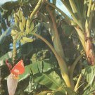 Banana Tree Growing in Florida FL Chrome Postcard - 5240