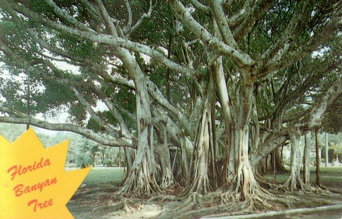 Banyan Tree in Florida FL Chrome Postcard - 5243