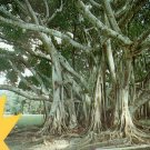 Banyan Tree in Florida FL Chrome Postcard - 5243