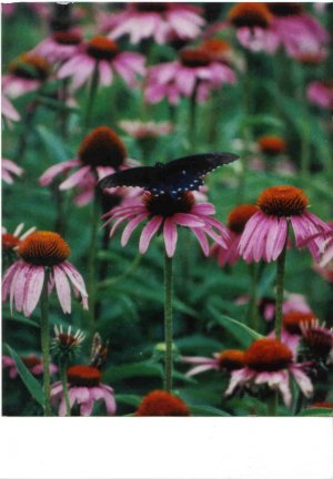 3 purple coneflower barerootstock