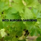 50 Flat leaf Italian Parsley Seeds