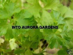 50 Flat leaf Italian Parsley Seeds